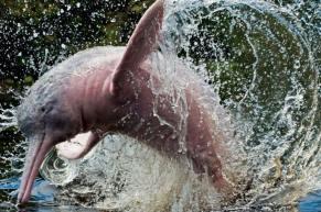 pink-dolphin-mamiraua-amazon