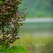 Huckleberries ripen on the edge of Fountain Lake