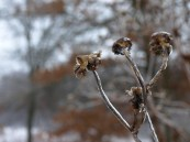 Late blooming Cup Plant flowers frozen in time