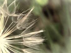 Goatsbeard_seedhead