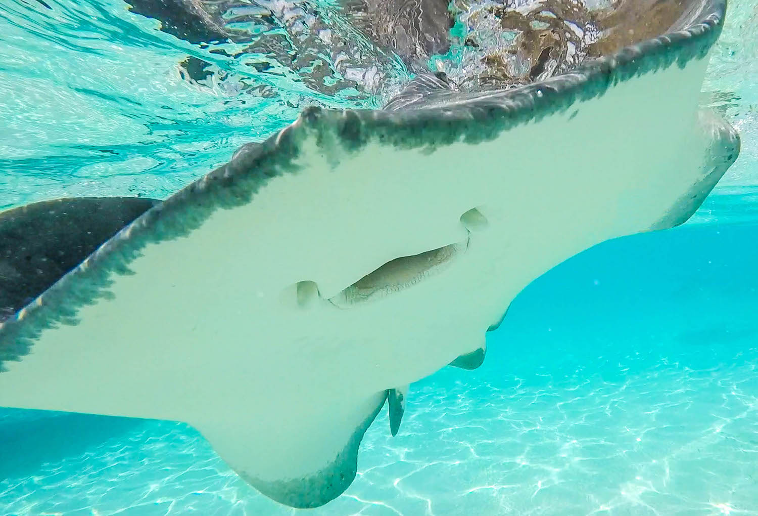 Sting rays in sting ray city, grand cayman