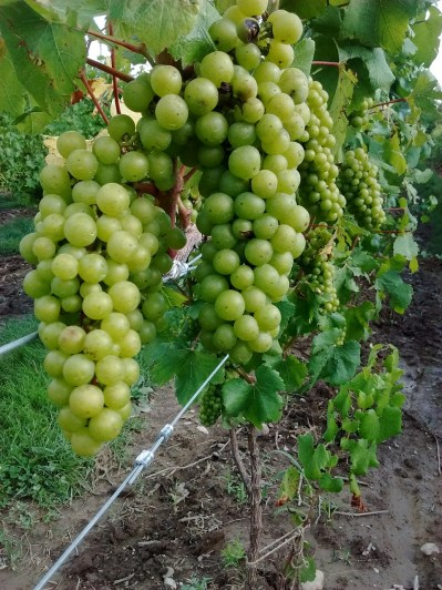 buttonwood_grapes