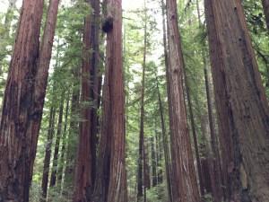 Soaring, graceful redwoods
