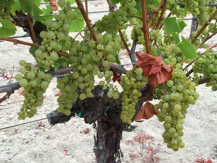 Chardonnay grapes in the Russian River Valley