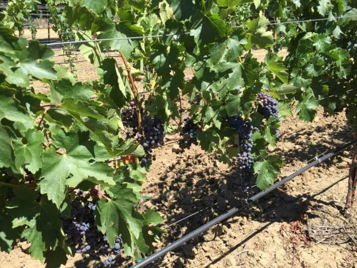 Villa Ragazzi vineyard