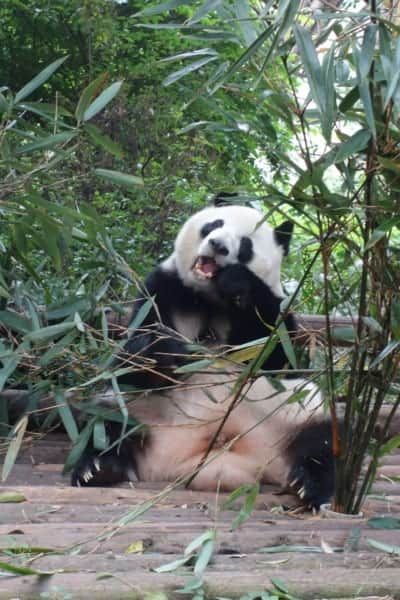 chengdu panda hug, chengdu panda cubs, chengdu panda tour, hold a panda chengdu, Visiting the wonderful Pandas in Chengdu, a look into the lives of these beautiful, funny and character endangered animals, China, holding a panda, holding a baby panda, how to visit the Pandas in Chengdu, where to visit the Pandas, Sichuan, Things to do in Chengdu, Bus, Metro, Train, transport, cost, entrance price,