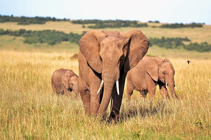 African elephants on safari, Backpacker Kenya Safari, Tanzania budget safari, Backpackers Africa, Kenya budget safari, Affordable African safari, Safari on a budget, African safari on a budget