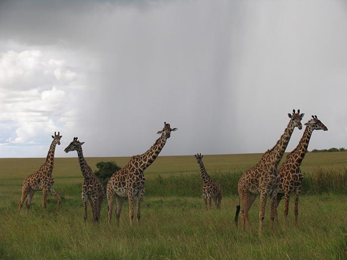a heard of giraffes, Backpacker Kenya Safari, Tanzania budget safari, Backpackers Africa, Kenya budget safari, Affordable African safari, Safari on a budget, African safari on a budget