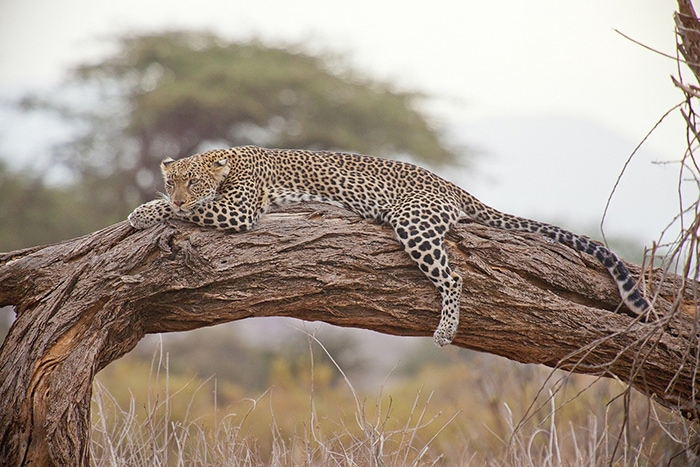 A leopard chilling out on a tree branch, Backpacker Kenya Safari, Tanzania budget safari, Backpackers Africa, Kenya budget safari, Affordable African safari, Safari on a budget, African safari on a budget