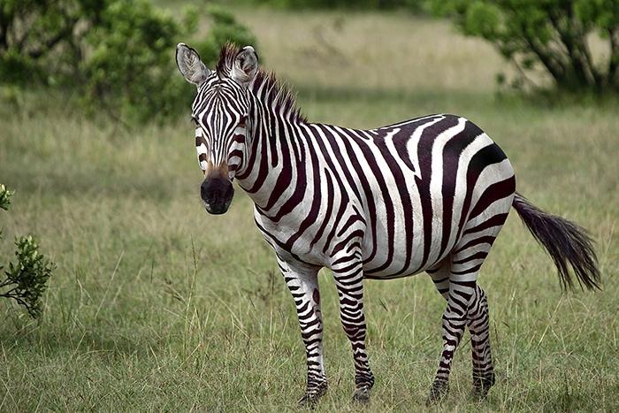 A Zebra on safari, Backpacker Kenya Safari, Tanzania budget safari, Backpackers Africa, Kenya budget safari, Affordable African safari, Safari on a budget, African safari on a budget