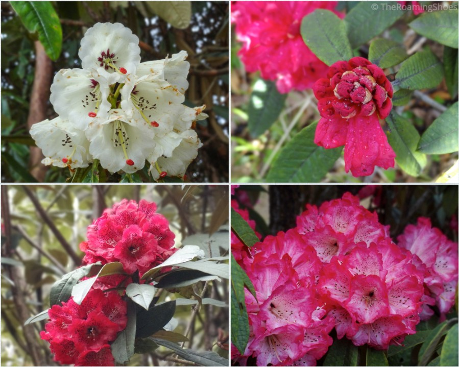 Different colors of Rhododendrons