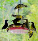 Banaquits with Honeycreepers - Purple and Green (female)