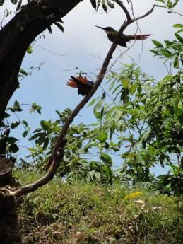 Rufous tailed Jackamor