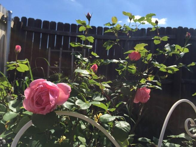 Queen Elizabeth Rose   The Rose Table