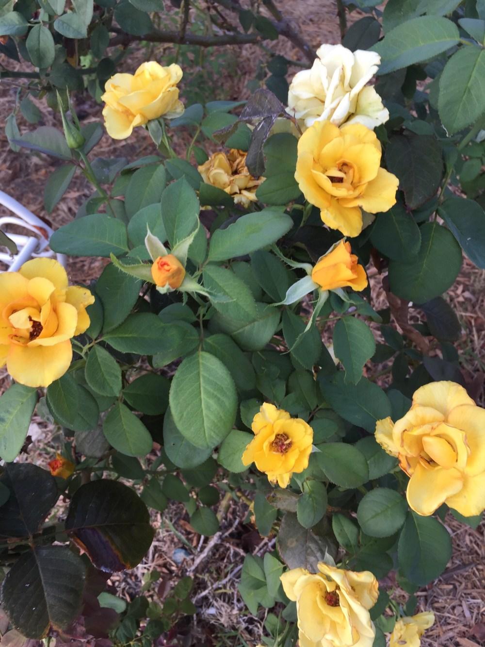 Sundance Rose | The Rose Table