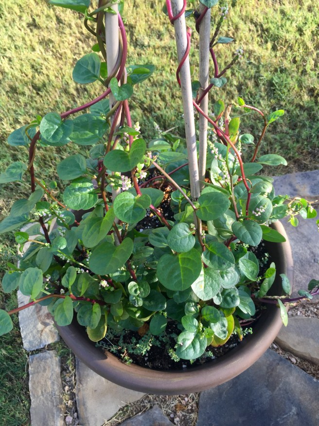 Malabar Spinach   The Rose Table