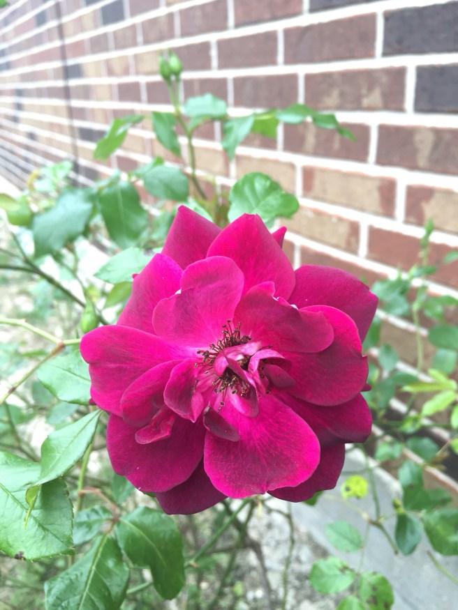 Burgundy Iceberg Rose   The Rose Table