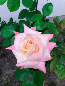 Top Garden Blog   The Rose Table