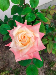 Top Garden Blog | The Rose Table