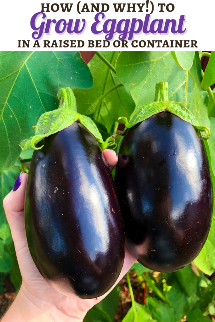 How to Grow Eggplant in Raised Bed, Containers, Eggplant Grow Guide