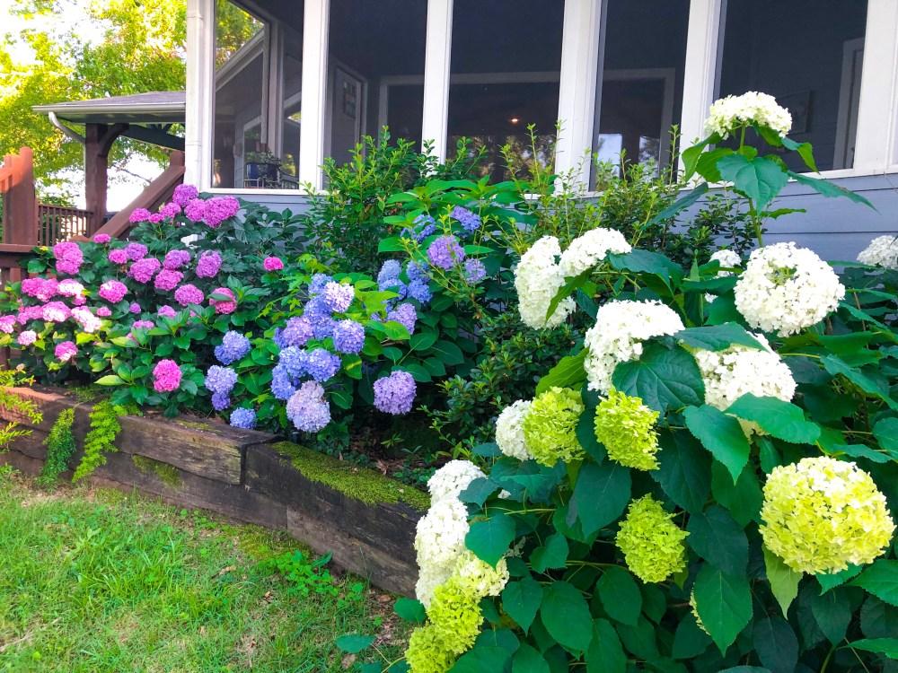 Hydrangea Growing Tips