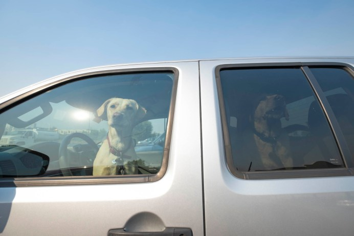 Dogs of an evacuee look out the window inside a parked car at Pierce College farm, on Friday, Oct. 11, 2019, in Woodland Hills, Calif. (Photo by Kevin Lendio)