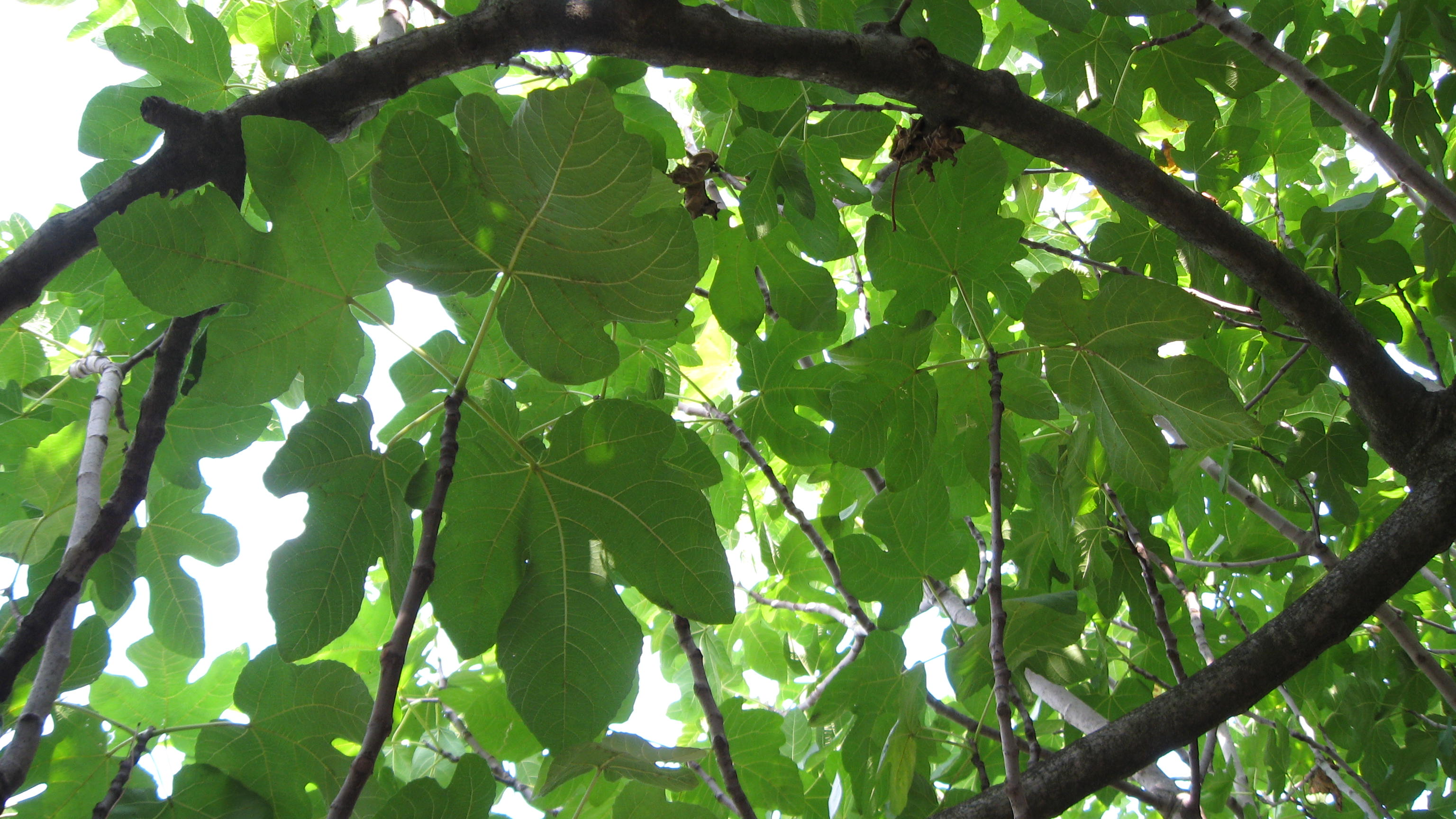 fig canopy