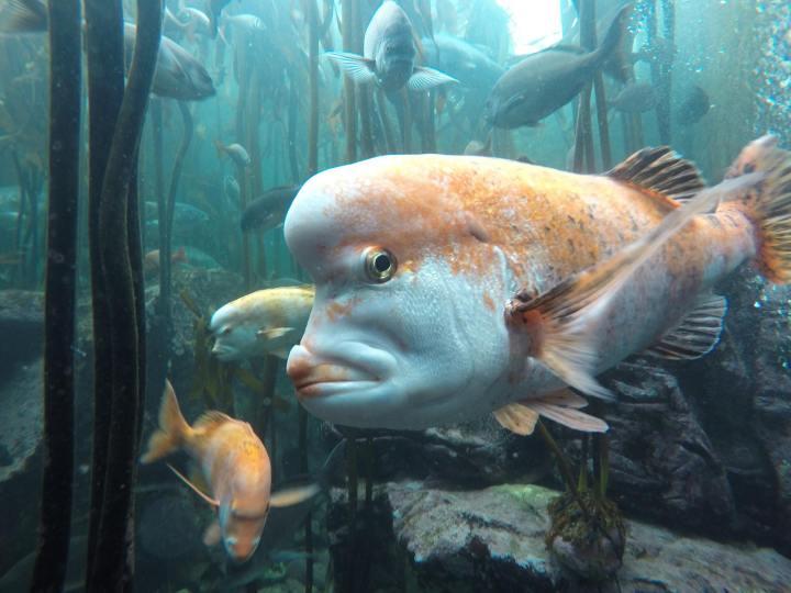 Red Stumpnose fish at two oceans aquarium