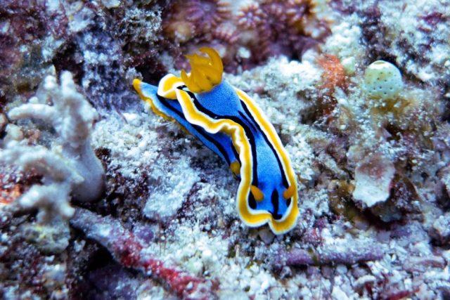 Raja Ampat Liveaboard - nudibranch