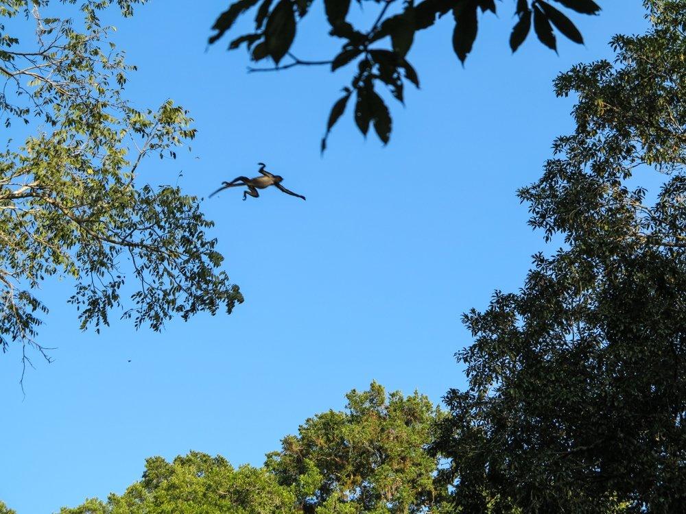 Spider monkey in mid air