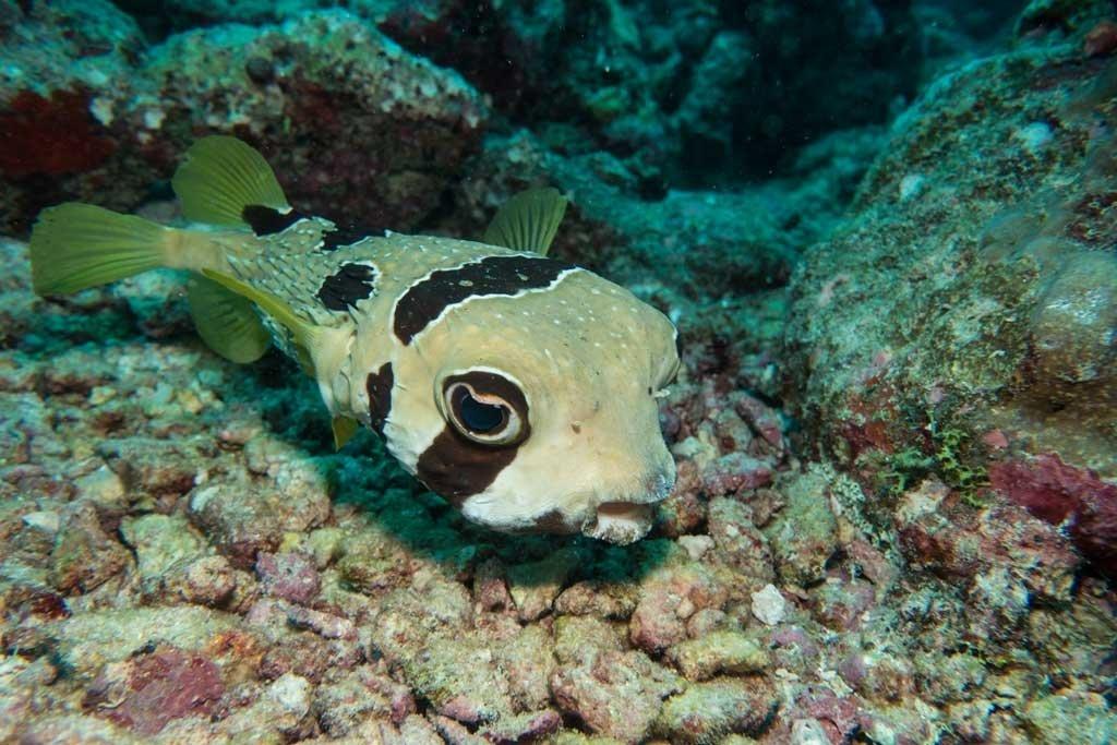 Dive the maldives - Porcupine blow fish