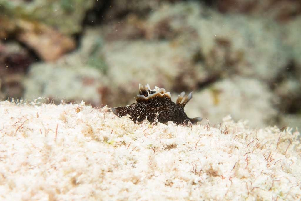 Dive the maldives - A tiny nudibranch, about 2 cm long.