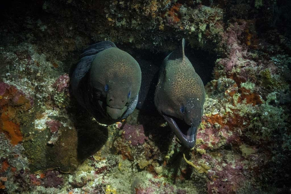 Dive the maldives Two moray eels
