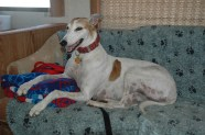 Goldie thought riding on the sofa in the RV was appropriate since she was in her retirement as a racing athlete, after all!