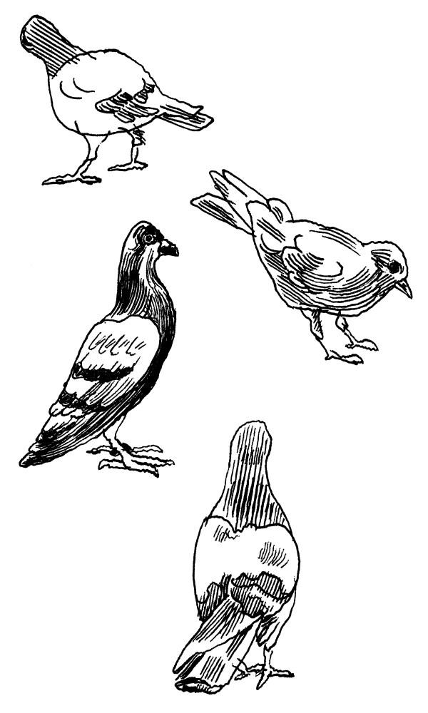 Pigeons (Jason Polan)