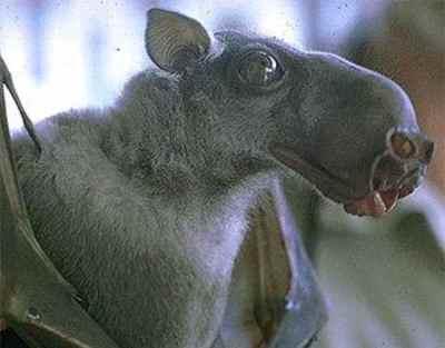 Hammer Headed Bat from Africa