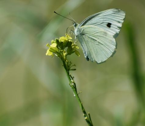 A sage-colored butterfly lands on a small flower, showcasing a single heart-shaped mark.