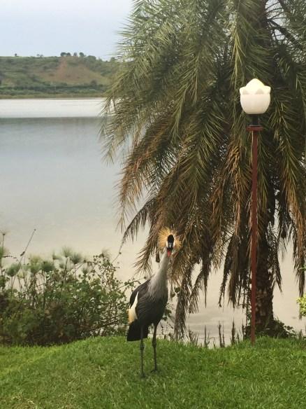 A rare bird on Lake Muhazi