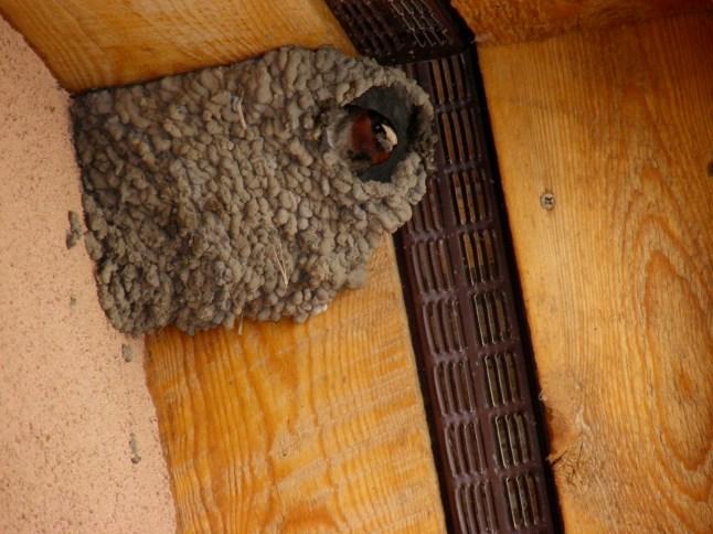 Barn Swallow at home...