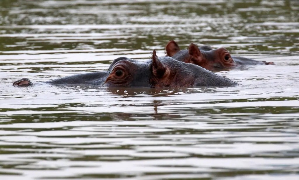 Only the eyes of these giant hippos are visible above the water - Image: Flickr/flowcomm