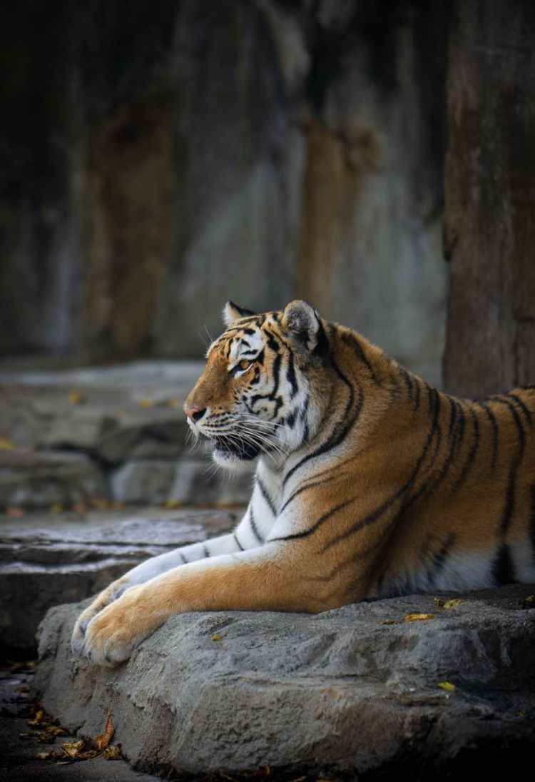brown striped tiger lying on ground