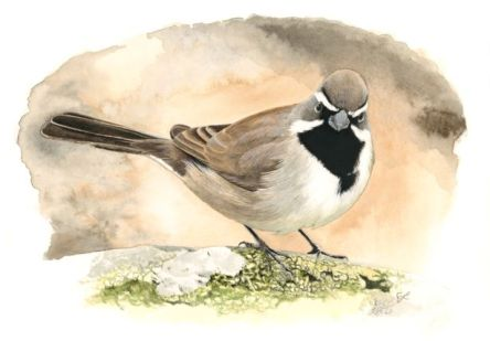 Illustration of a small black, white, and brown bird standing on a rock.