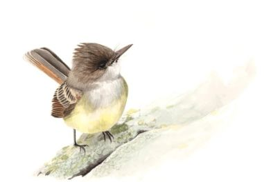 Illustration of a small brown, yellow, and white bird standing on a rock.