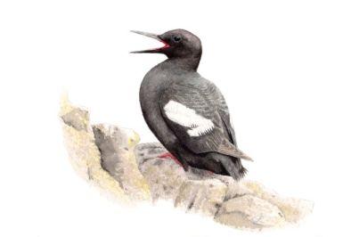 Illustration of a black and white bird, beak open, sitting on a rock.
