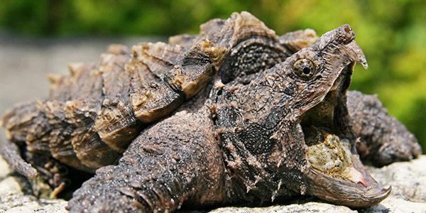 alligatorsnapping turtle.jpg