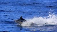 Fantastic marlin fishing off Bazaruto
