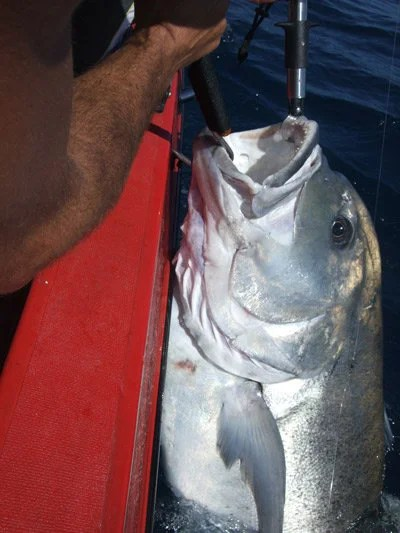 Estimated 60kg GT released in southern Mozambique.