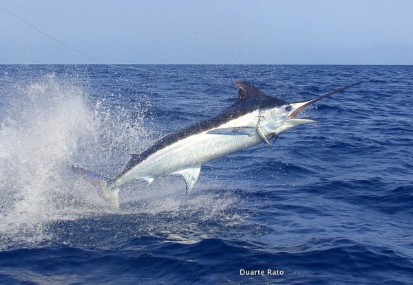 Fishing Mozambique: The easiest way to distinguish between the two is that the Blue Marlin can fold it's pectoral fins right up against the marlins body, much like a yellowfin tuna, while the Black's pectorals always stick out...(c) Duarte Rato