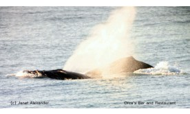 Humpback whales letting of some steam out front of Orca's Bar and Restaurant in Sunwich Port