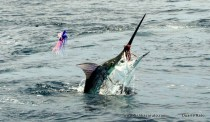 Smaller marlin provide plenty of fun, especially this time of year, in the Bazaruto Archipelego